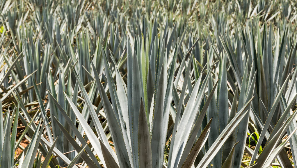 Photo of large blue agave plant among many others in a field.