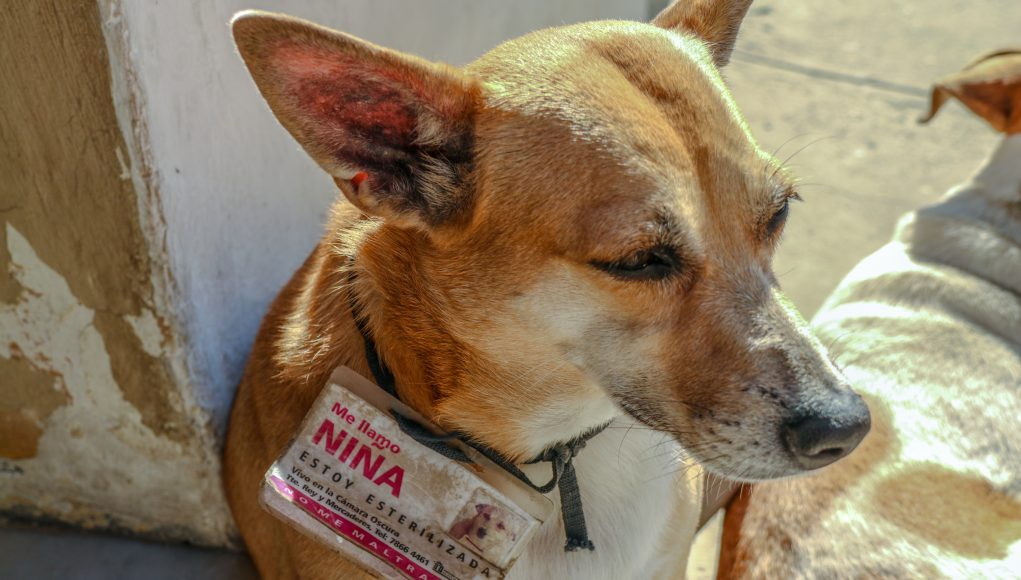 Photo of dog wearing a large printed name tag on her collar, seated on sidewalk in front of building.